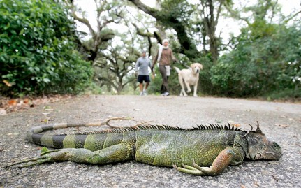 Frozen iguanas 'fell from the skies'